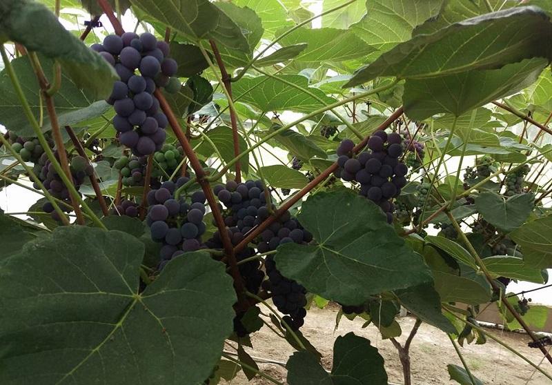 Raisin Bleu de style condord. Sucré, très juteux et regorgeant de saveur. Excellent raisin de table. Sans aucun pesticide et Produit Chimique.