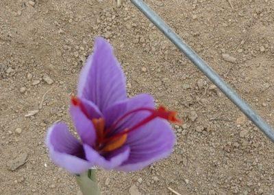 évolution de la fleur